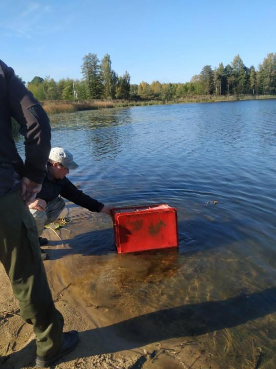Aknīstes ezeros ielaiž zandartu mazuļus